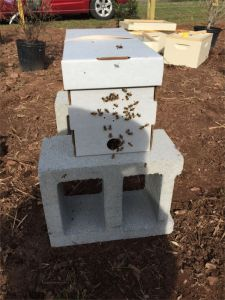 The first nuc at its new home. When I removed the entrance cap, the bees literally burst out of the hive.