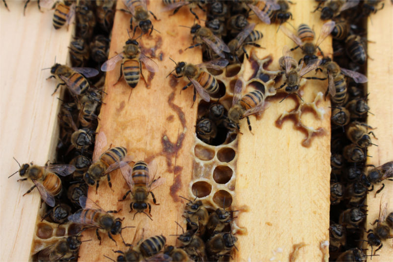 "The hive we've named ""Jupiter"" built a small tunnel at the top of their box."