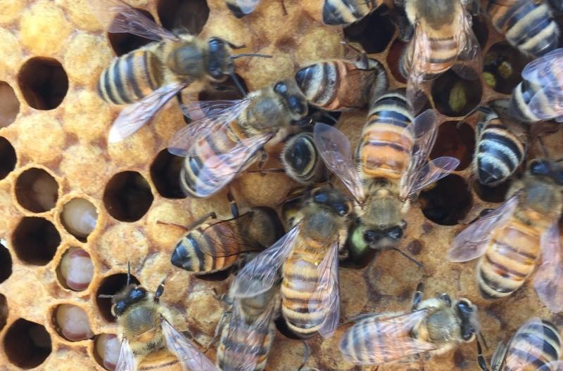 Bee Pupa