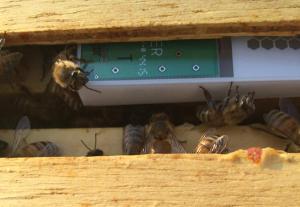 BroodMinder in Hive