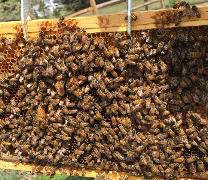 caption: there are five queen cells on this frame, though only a few of them are visible here through the bees.