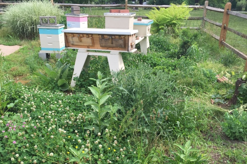 Venus and and the other hives on June 5 amongst the weeds in the bee yard.