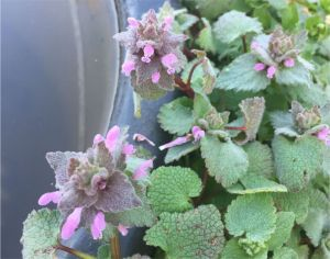 Red Dead-nettle about to bloom in the bee yard. (c) Erik Brown